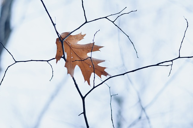 A single leaf on a dead tree