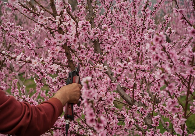 A man pruning a peach tree