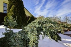 Why Does My Evergreen Tree Turn Brown in the Winter?