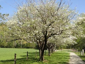 4 Ways to Care for Your Dogwood Tree