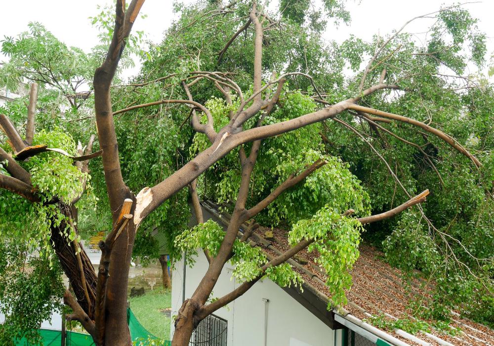 Tree with split limb