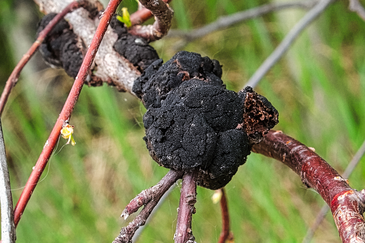 Closeup of a black knot fungus growth on a tree branch.